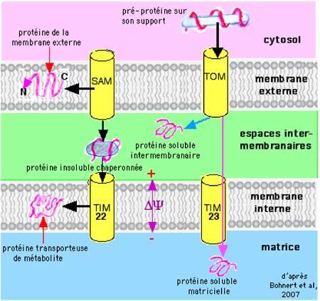 la Membrane Mitochondriale
